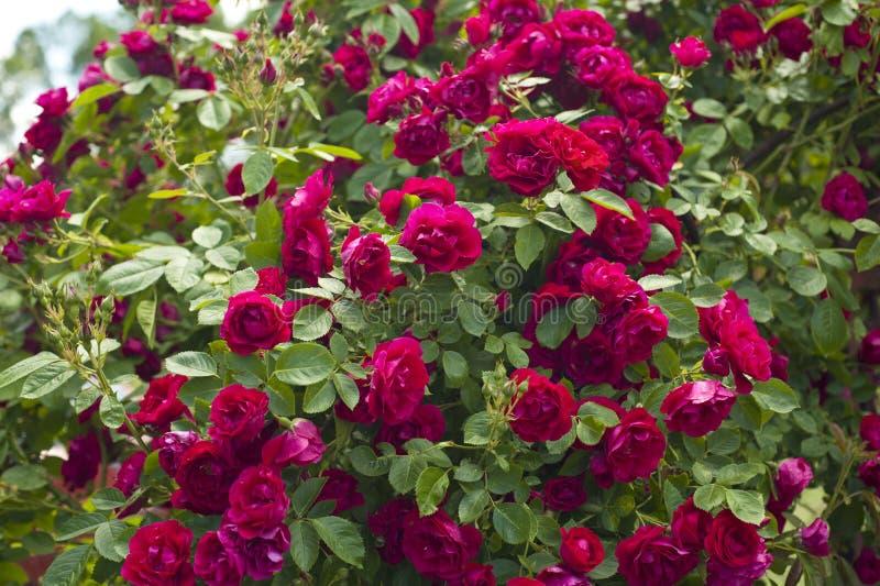 Ursnygg vibrerande färgrik rosträdgård - grupp av rosor arkivbild
