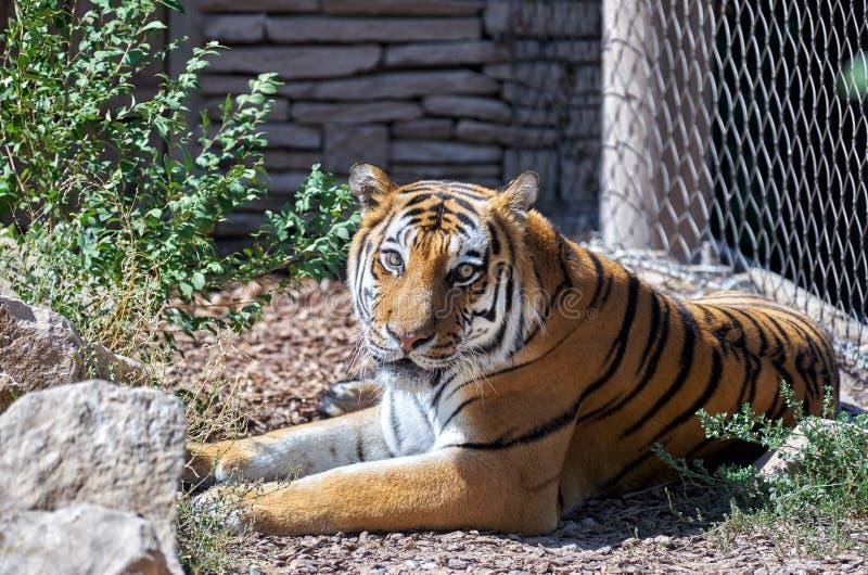 Ursnygga fokuserade ögon Amur (för Siberian) tiger arkivfoton
