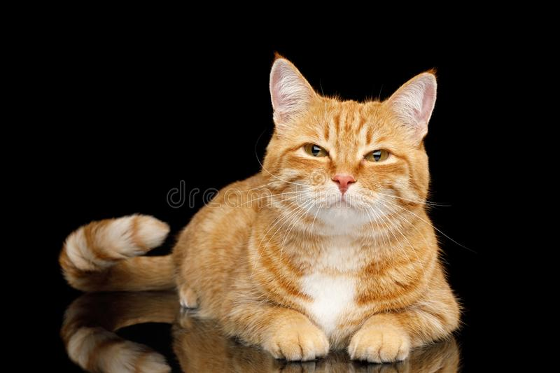 Ursnygga Ginger Cat på isolerad svart bakgrund royaltyfria bilder