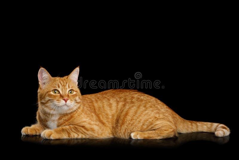 Ursnygga Ginger Cat på isolerad svart bakgrund arkivfoto