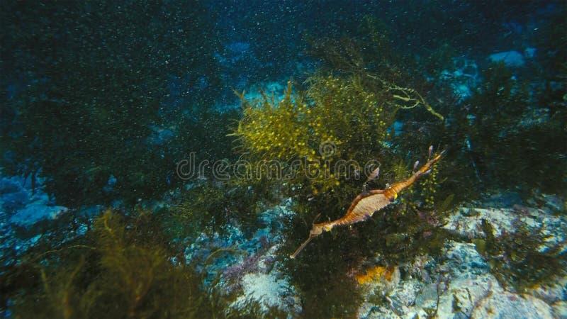Ursnygga lövrika Seadragon som kamoufleras som havsväxt royaltyfria foton