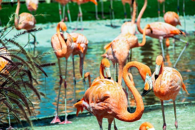 Ursnygga rosa flamingo som står i vatten Härliga bakgrunder royaltyfri foto