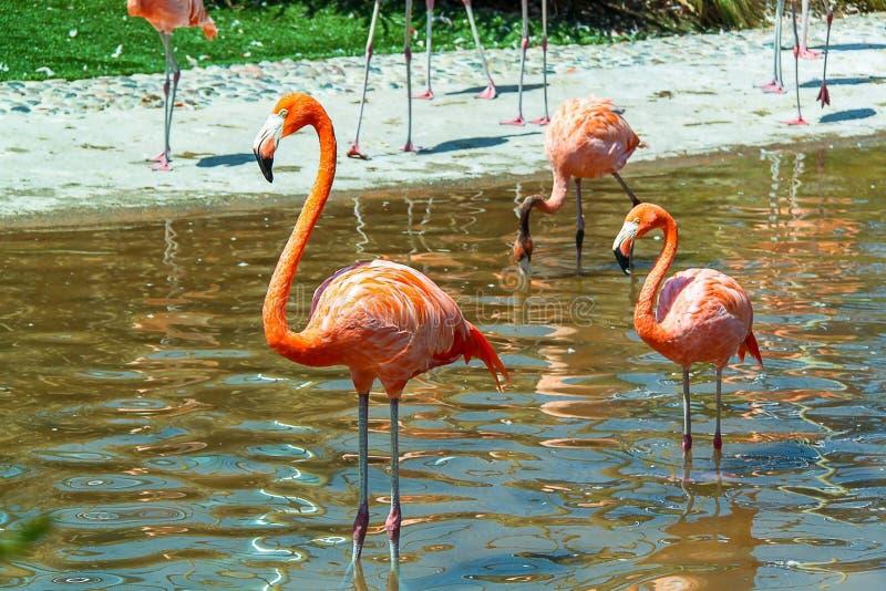 Ursnygga rosa flamingo som står i vatten Härliga bakgrunder royaltyfria foton