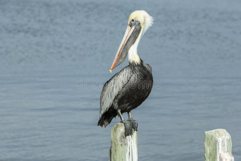 Ursnyggt pelikansammanträde på en träinsats royaltyfri bild