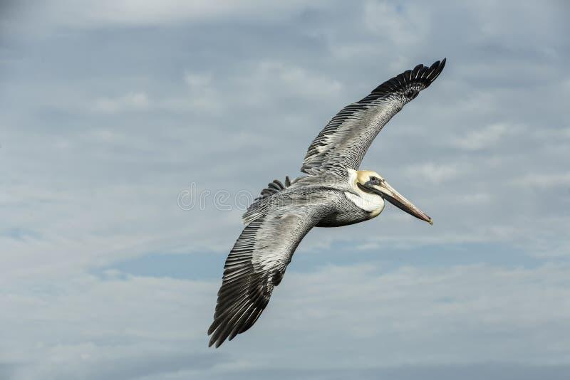 Ursnyggt pelikansammanträde på en träinsats fotografering för bildbyråer