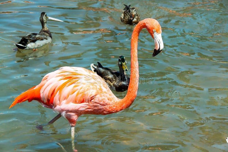 Ursnyggt rosa flamingoanseende i vatten med andra fåglar på bakgrund arkivfoton
