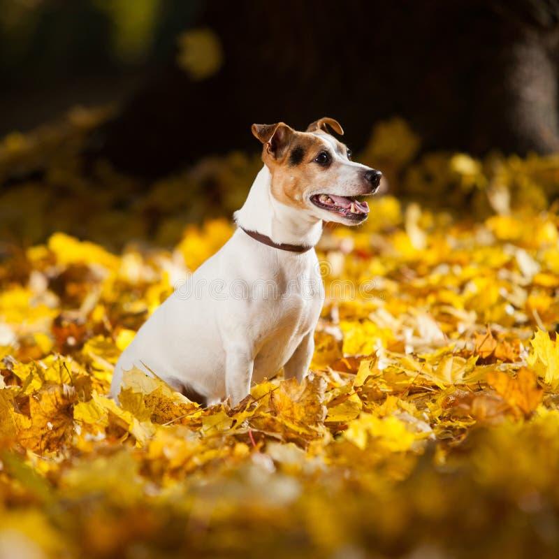 Ursnyggt sammanträde för stålarrussell terrier i gula sidor royaltyfri fotografi