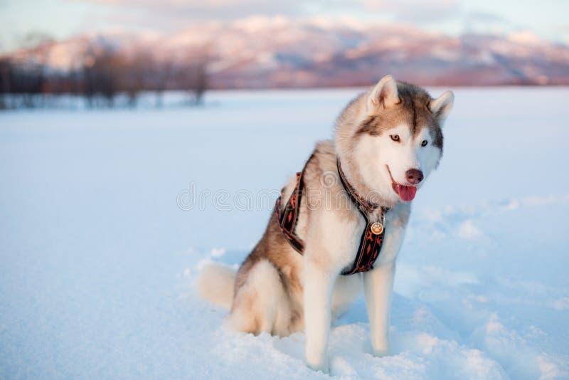 Ursnyggt skrovligt hundavelsammanträde i snöfältet med fantastisk bergsikt arkivbild