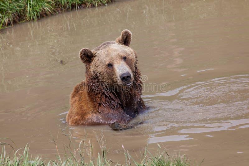 Urso amuando em uma lagoa fotos de stock