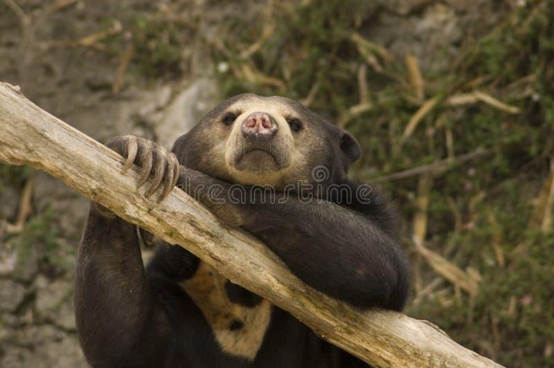Urso asiático de Sun fotos de stock