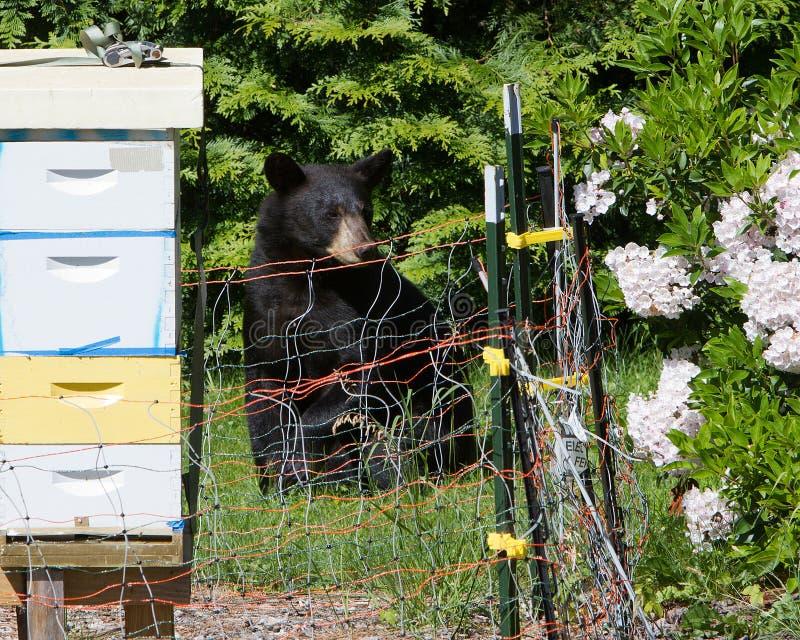 Urso atraído à colmeia fotos de stock royalty free