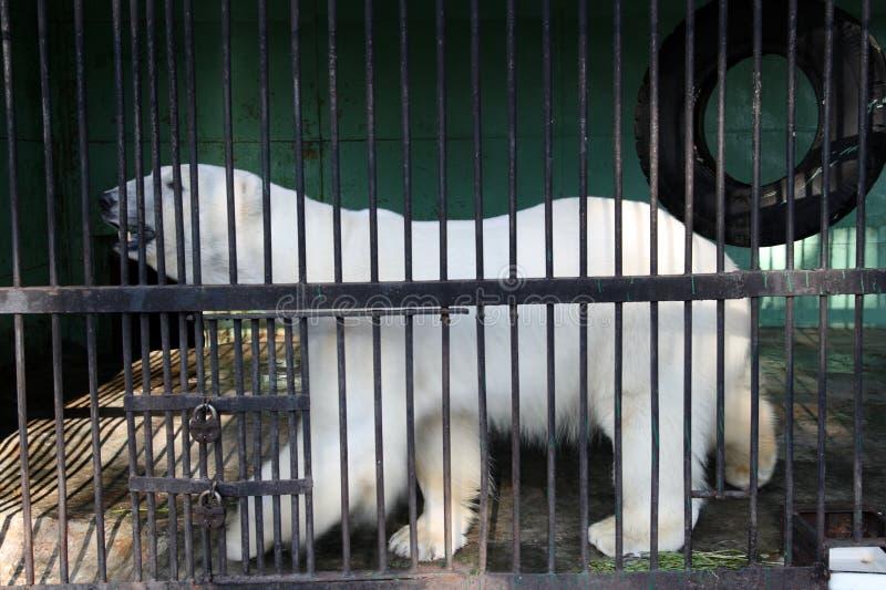 Urso branco na gaiola imagem de stock
