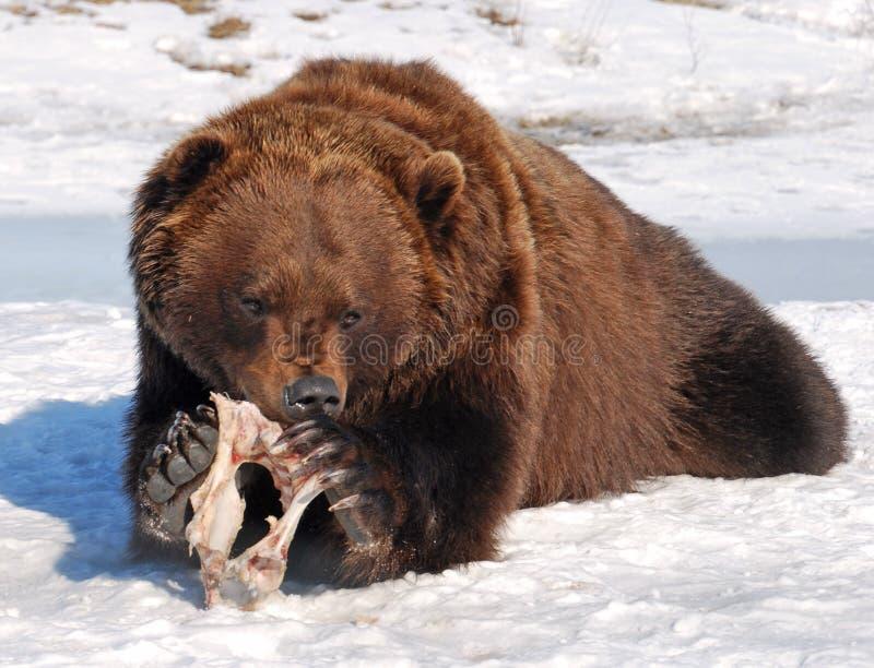 Urso com fome imagem de stock royalty free