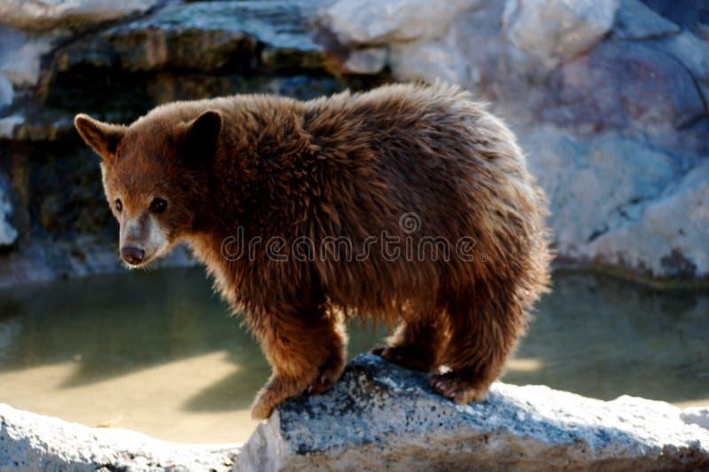 Urso Cub do urso fotos de stock