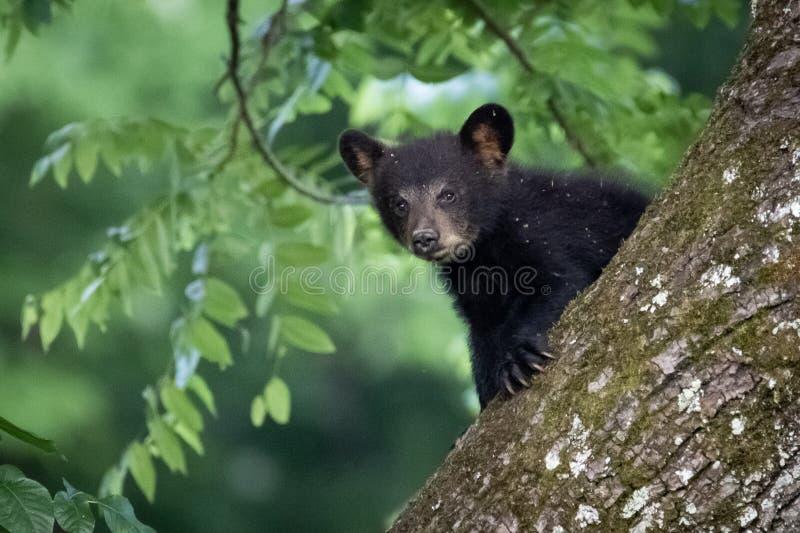 Urso Cub em uma ?rvore imagem de stock royalty free