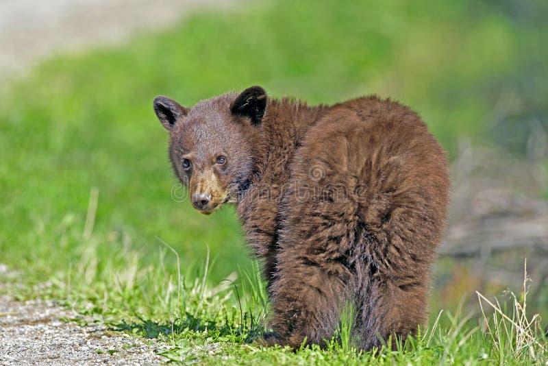 Urso Cub preto imagens de stock