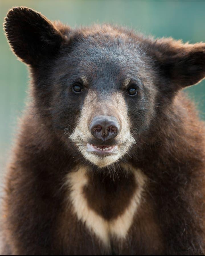 Urso Cub preto imagens de stock royalty free