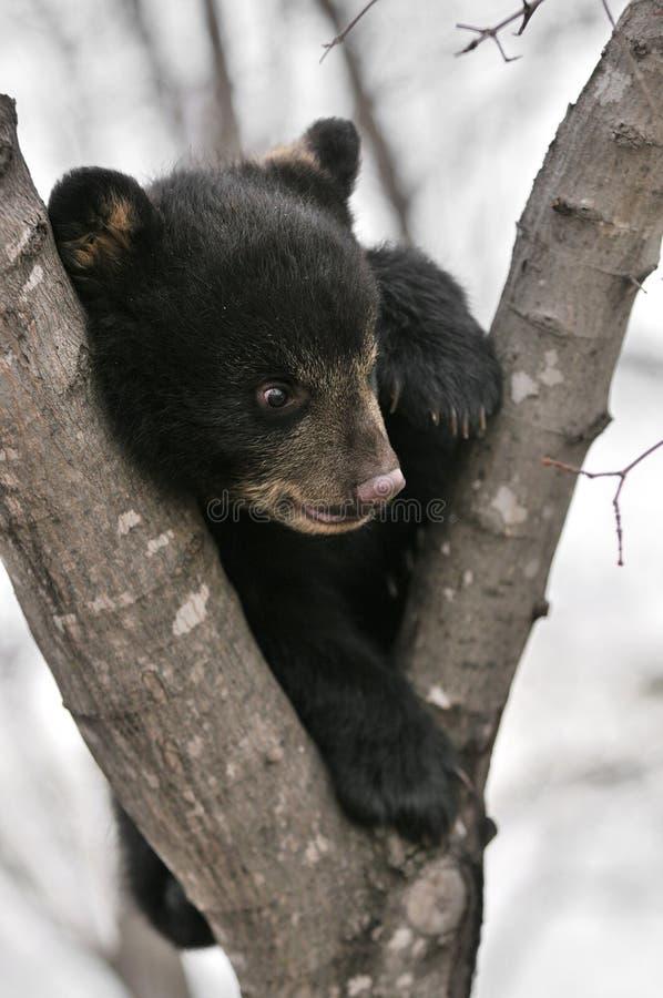 Urso Cub preto americano na árvore fotos de stock