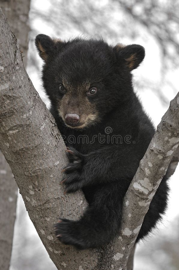 Urso Cub preto na árvore fotografia de stock royalty free