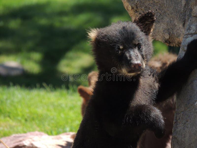 Urso Cub que inclina-se em rochas foto de stock