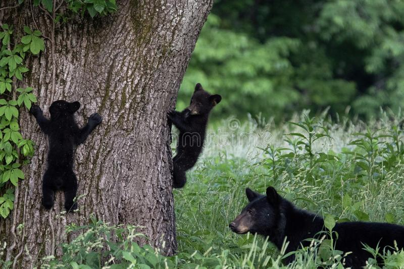 Urso da mãe e 2 filhotes fotos de stock