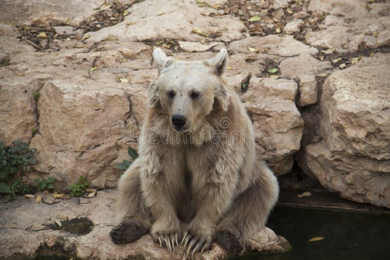 Urso de assento fotografia de stock royalty free