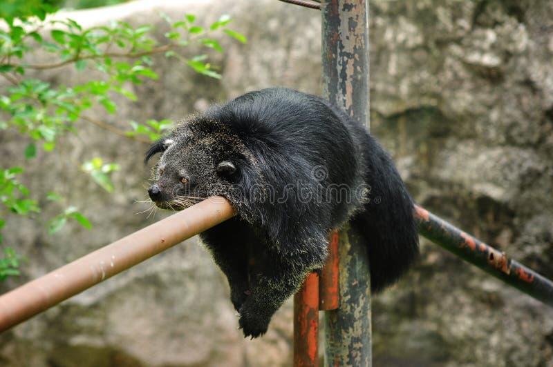 Urso de Binturong imagem de stock