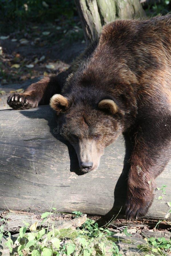 Urso de Bown fotos de stock royalty free