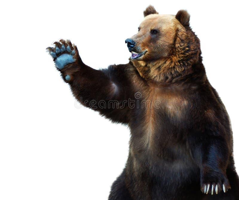 Urso de Brown fotografia de stock royalty free