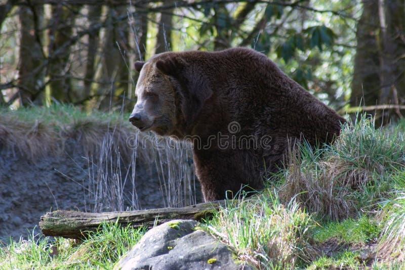 Download Urso de Brown foto de stock. Imagem de furry, awesome, urso - 69216