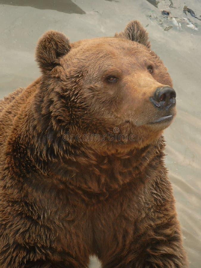 Download Urso de Brown imagem de stock. Imagem de grande, impo, short - 69545
