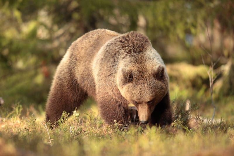 Urso de Brown foto de stock royalty free