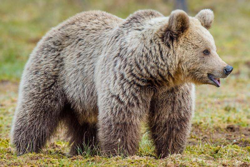 Urso de Brown adulto selvagem imagens de stock royalty free