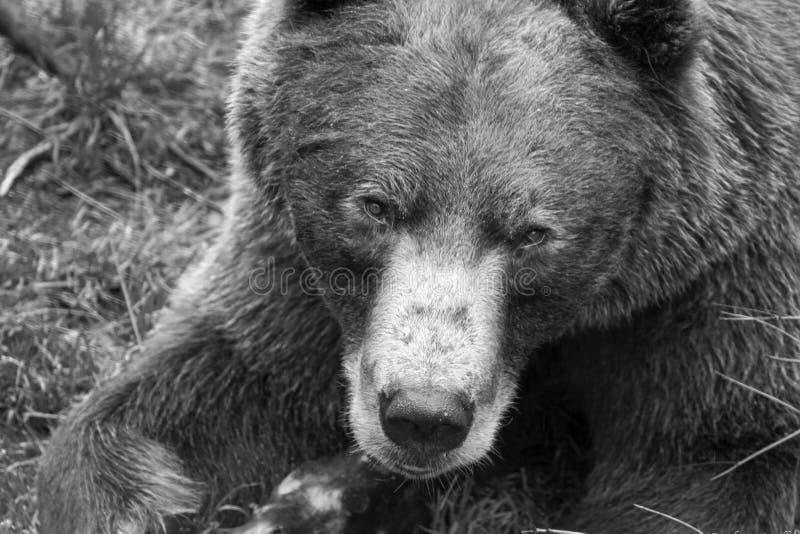 Urso de Brown, Alaska fotografia de stock royalty free