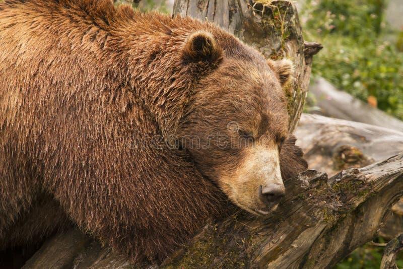 Urso de Brown, Alaska foto de stock royalty free