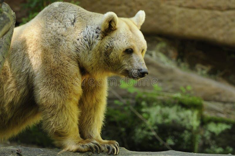 Urso de Brown (arctos do Ursus) fotografia de stock royalty free