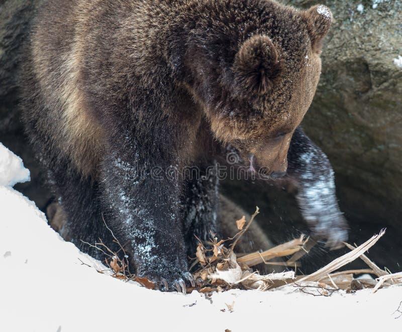Urso De Brown (arctos Do Ursus) Foto de Stock