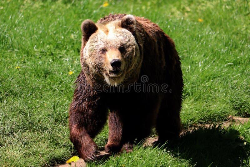 Urso de Brown, arctos do ursus, na primavera fotografia de stock royalty free