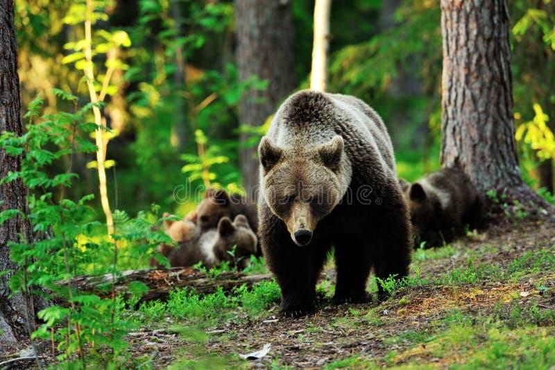 Urso de Brown com filhotes imagem de stock