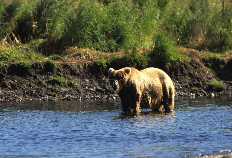 Urso de Brown com salmões foto de stock