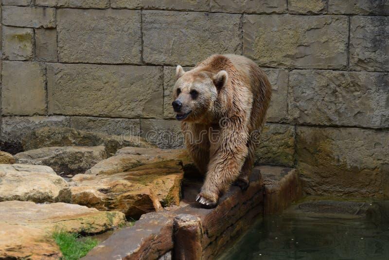 Urso de Brown do cativo imagem de stock