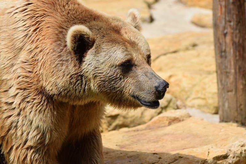 Urso de Brown do cativo imagens de stock