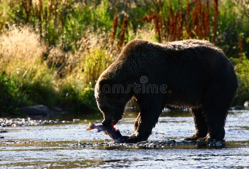Urso de Brown do Kodiak fotografia de stock royalty free