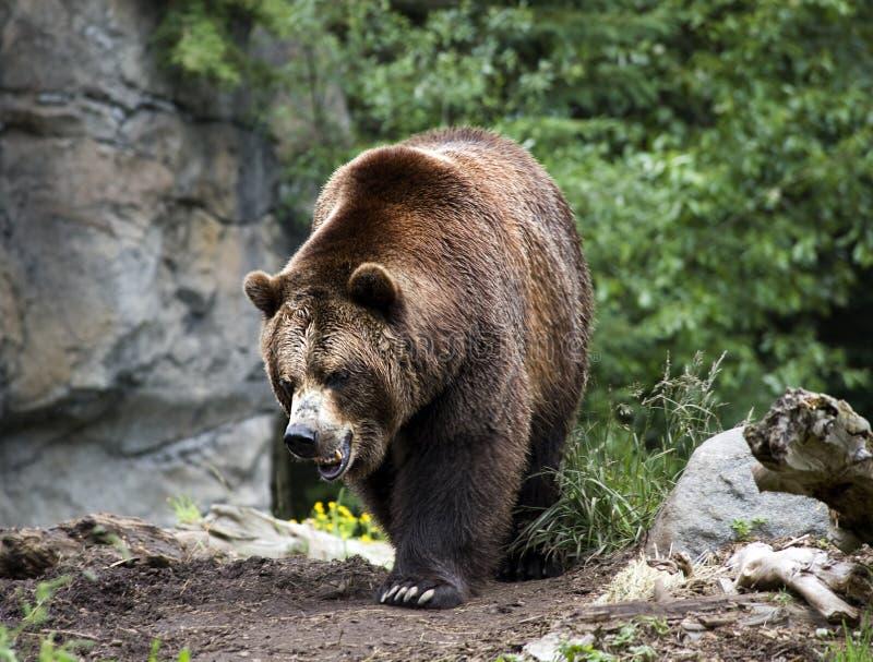 Urso de Brown do Kodiak que anda na fuga imagens de stock