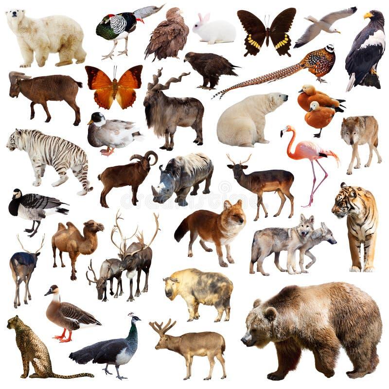 Urso de Brown e outros animais asiáticos Isolado no branco foto de stock