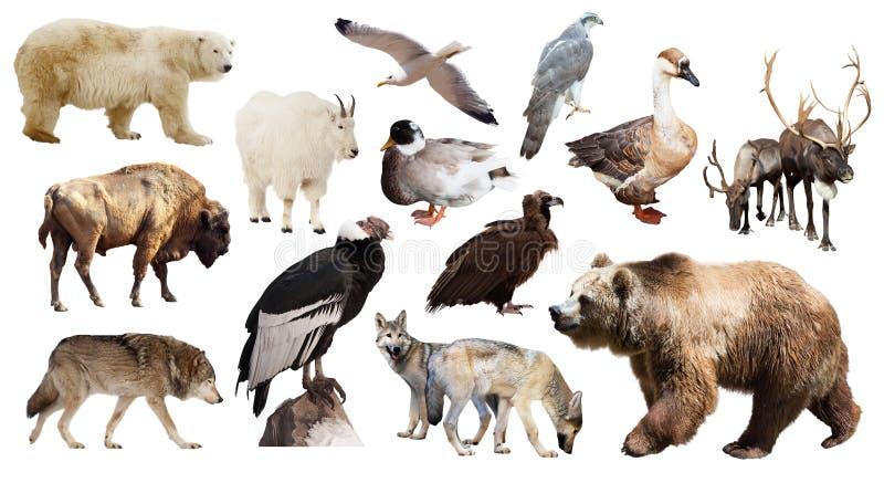 Urso de Brown e outros animais norte-americanos imagem de stock royalty free