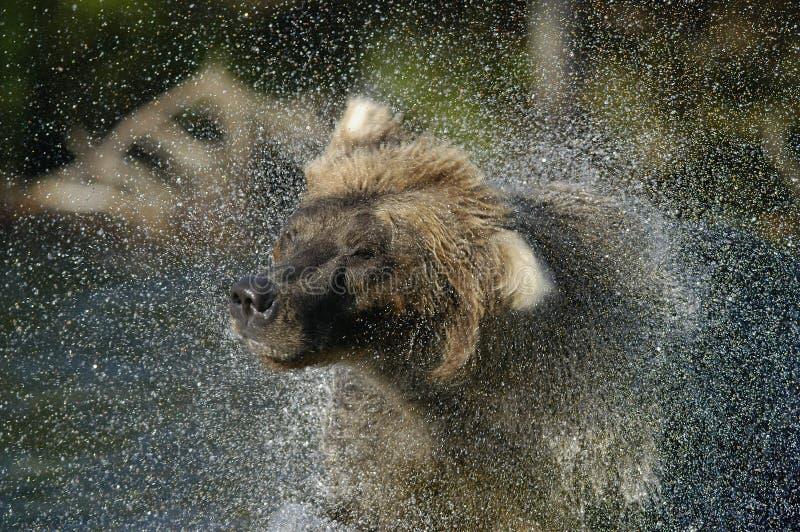 Urso de Brown e pulverizador de água imagens de stock royalty free