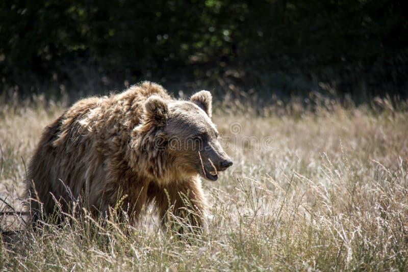 Urso de Brown em um prado fotografia de stock royalty free