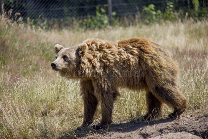 Urso de Brown em um prado foto de stock royalty free