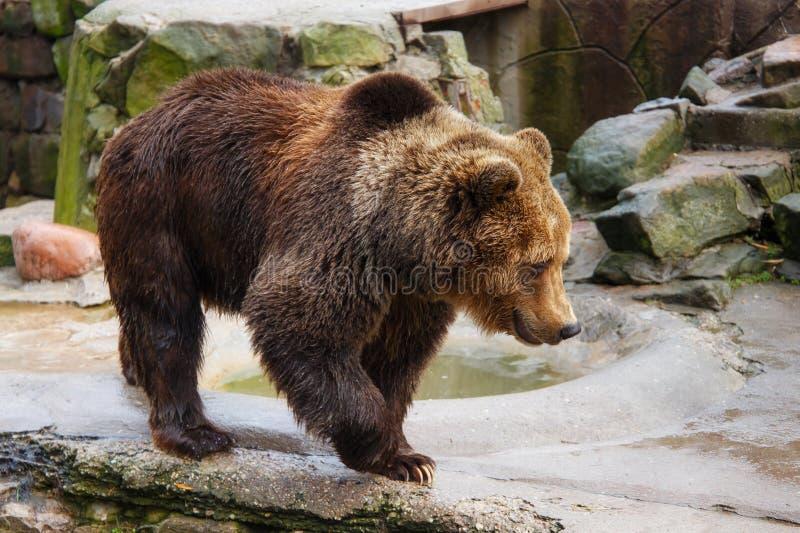 Urso de Brown grande imagem de stock